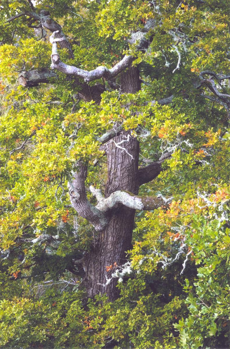 2_7-Venerable-Oak