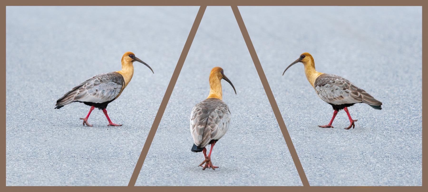 """Taken at birds at Area De Servicio Panamericana Sur 40°43'59.6""""S 73°09'00.8""""W, Area De Servicio, Río Negro, Región de los Lagos, Chile, Tuesday, 13/11/2018. Photo by: Richard Ryder"""